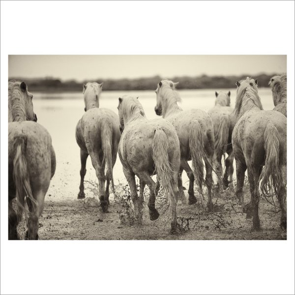 HORSES IN WATER - 008 - LIMITED EDITION PRINT