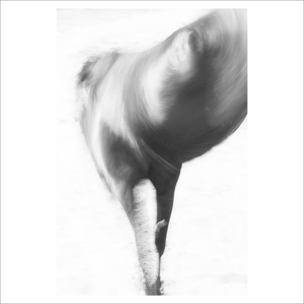 HORSE IN MOTION - 079-  LIMITED EDITION PRINT