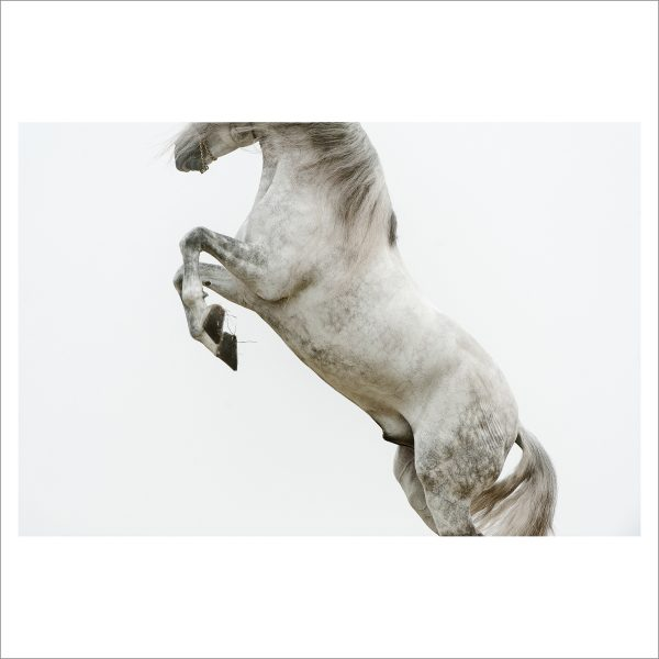 REARING HORSE - 059 - LIMITED EDITION PRINT
