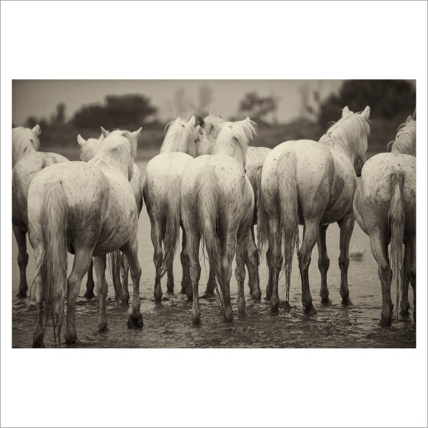 HORSES IN WILD- 030 - LIMITED EDITION PRINT