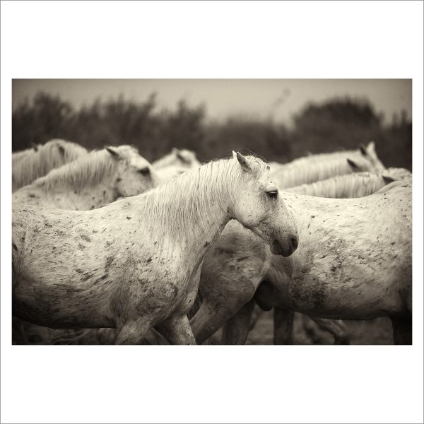 HORSES IN WILD- 036 - LIMITED EDITION PRINT