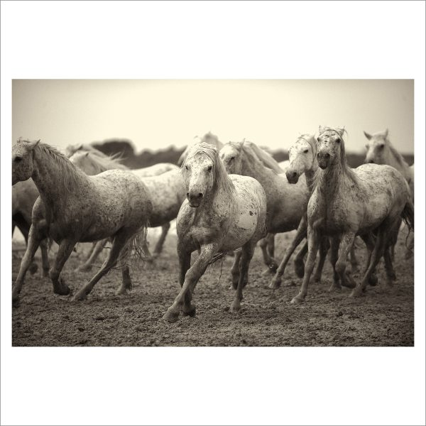 HORSES IN WILD- 038 - LIMITED EDITION PRINT