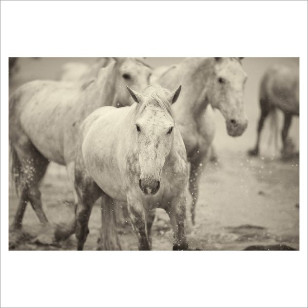 HORSES IN WATER- 053- LIMITED EDITION PRINT