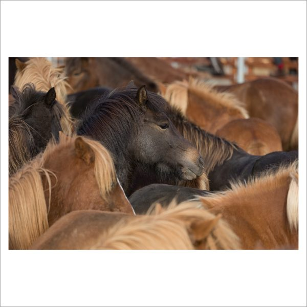 HORSES IN MOTION - 111 - LIMITED EDITION PRINT