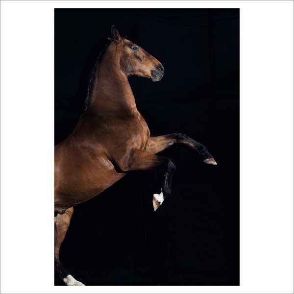 REARING HORSE - 147 - LIMITED EDITION PRINT
